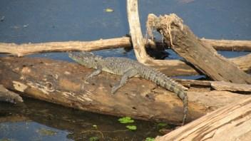 Baby sunbathing crocodile