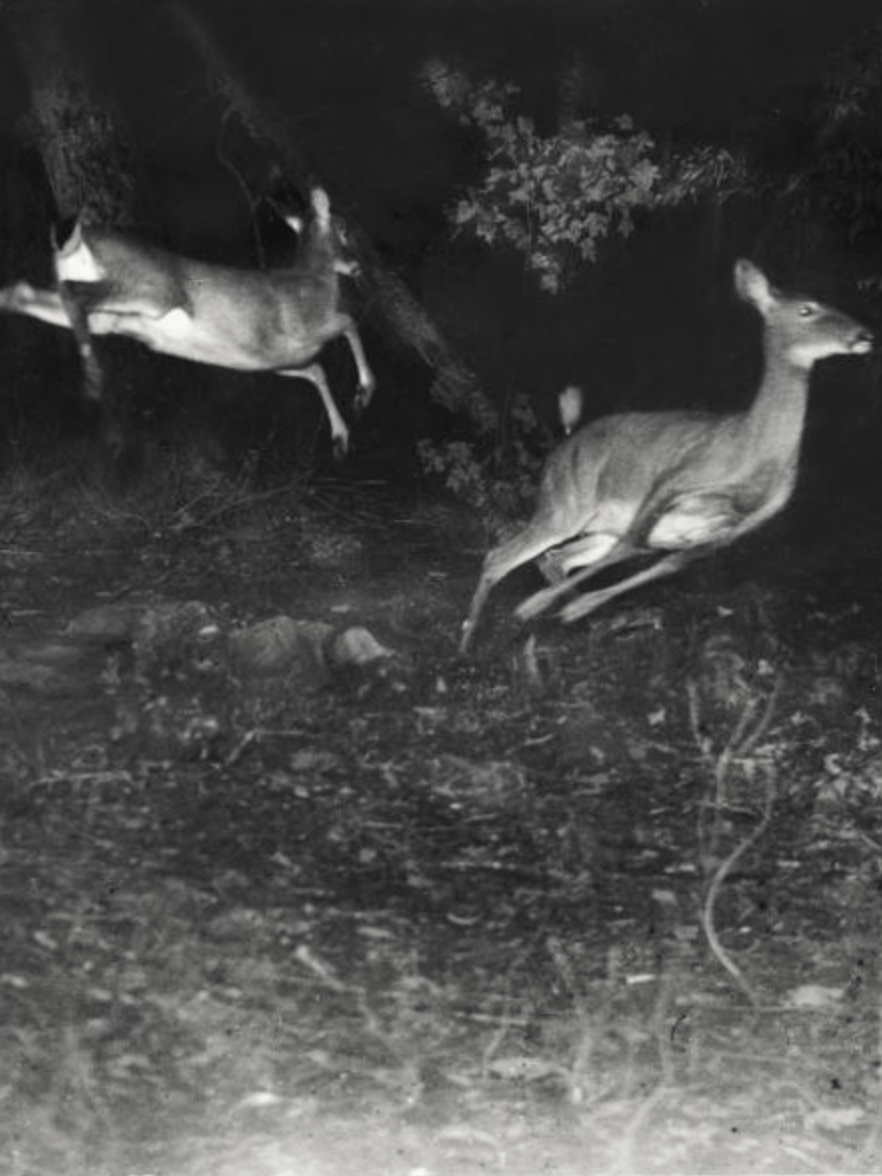 George Shiras, Three White-Tailed Deer Leaping to Escape, Michigan, 1920. c National Geographic Creative Archive