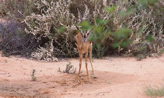 Adolescent Rheem Gazelle at Al Maha, Dubai: f/5; 1/500sec