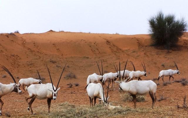 Scimitar-horned Oryx Family, Al Maha: f/4.5; 1/750sec