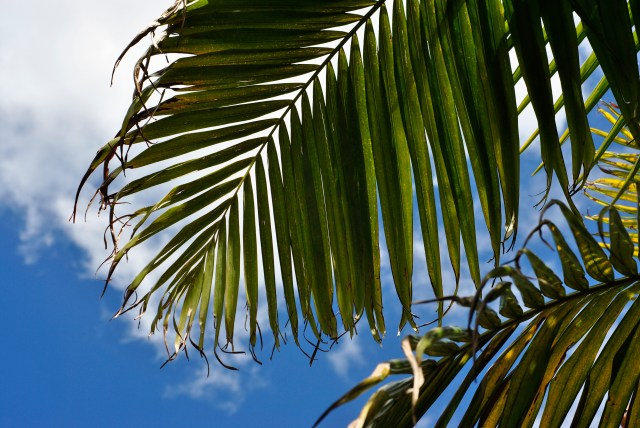 Palms in Vincentia: f/7.1; 1/320sec; ISO-100