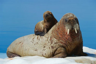 Mamma walrus and her calf