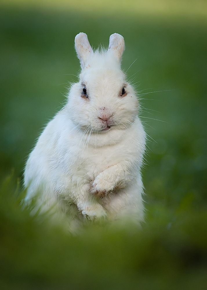 white rabbit is annoyed