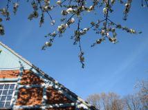flower cherry blossom spring