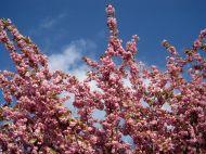 flower pink cherry blossom spring