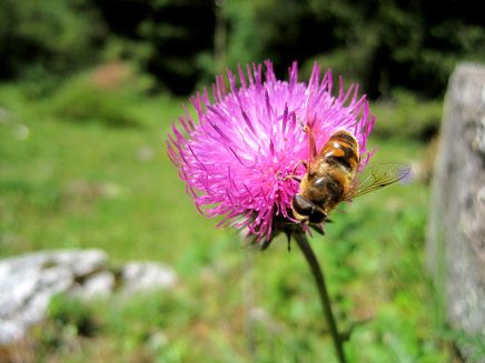 A bee on pink clover.