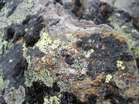 Lichens on rock.