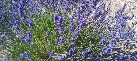 The Lure of Lavender