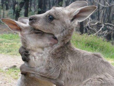 Kangaroos - Affectionate 02