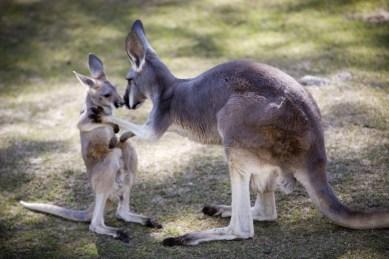 Kangaroos - Babies and mom ]001