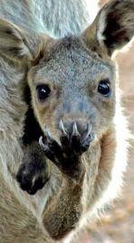 Kangaroos - Babies and mom ]003