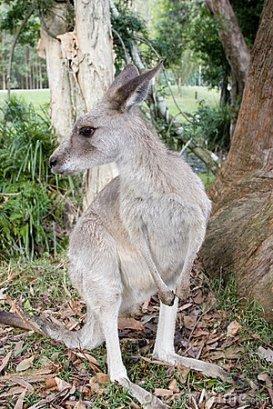 Kangaroos - Babies and young 03