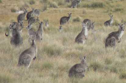 Kangaroos - Crowd or mob 007