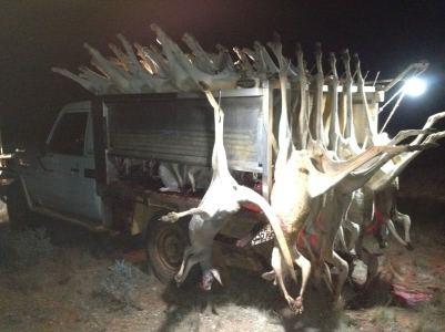 Kangaroos - Killed in trucks and storage 012