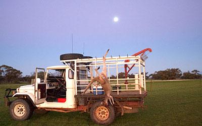 Kangaroos - Killed in trucks and storage 018