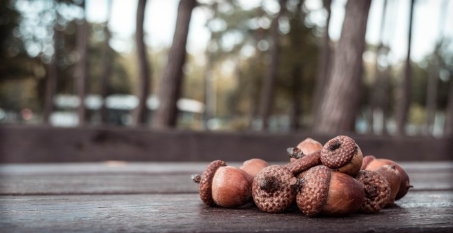 acorn-456205_1920
