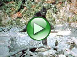 Famed Bigfoot Patterson video