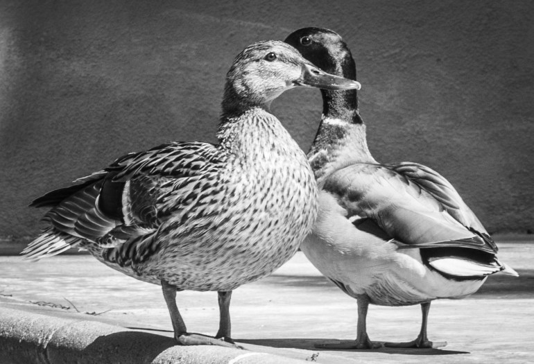 Male and female mallard, keeping watch over each other.