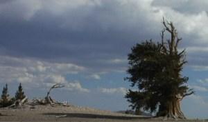 Bristlecone Pine trees