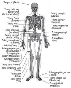 Gelang Panggul : gelang, panggul, Struktur, Fungsi, Rangka, Tubuh, Manusia, ALIFYA