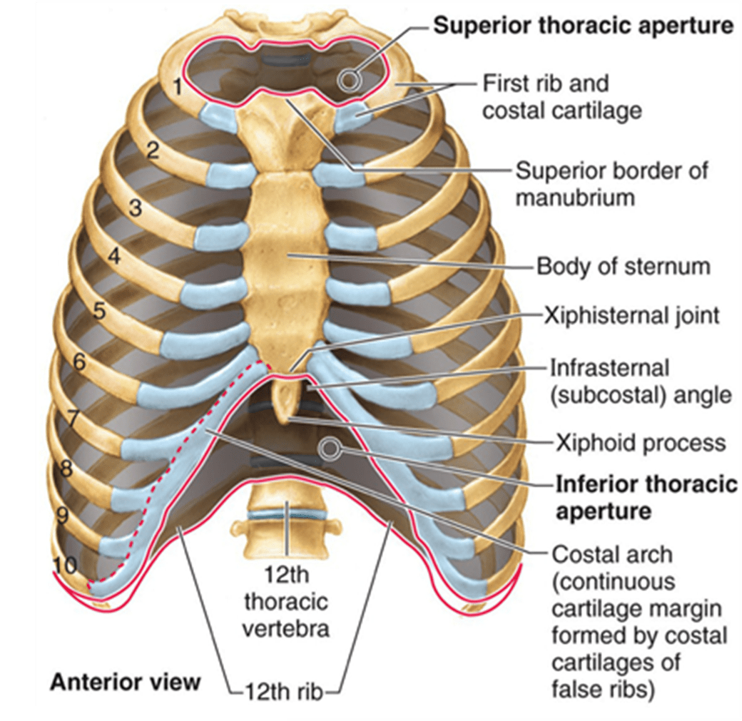 Thoracic Chest Amp Rib Pain