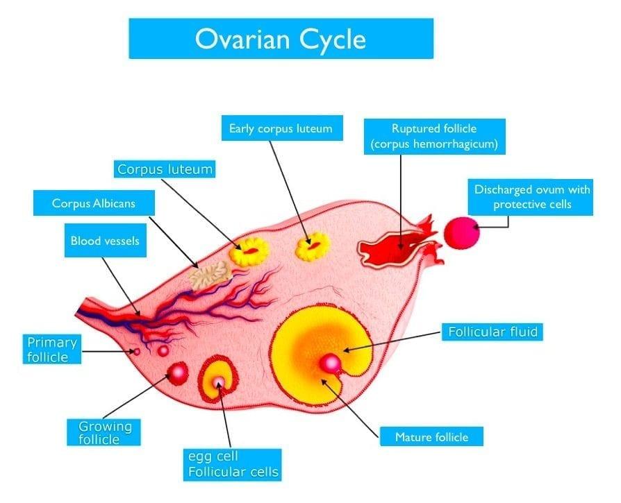 Ovulation Pain (Mittelschmertz) - Alignment Monkey