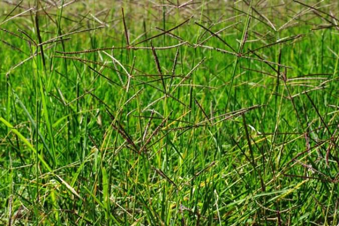 macam macam rumput grinting