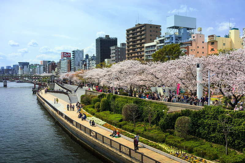 Cherry Blossoms line the Sumida River
