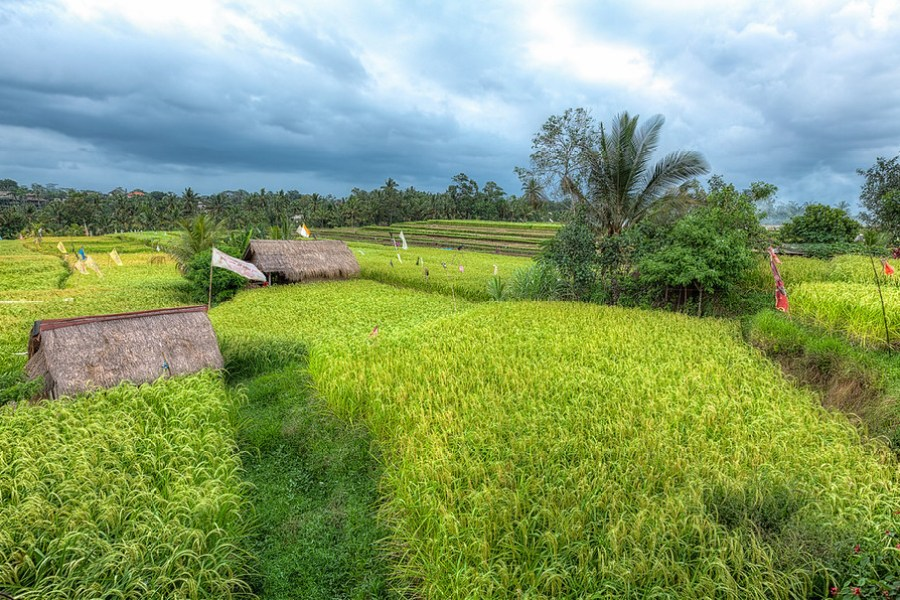 Bali Rice Fields, These are some of the Rice Fields of Bali Indonesia. This is the view from the famous Sari Organik Cafe.