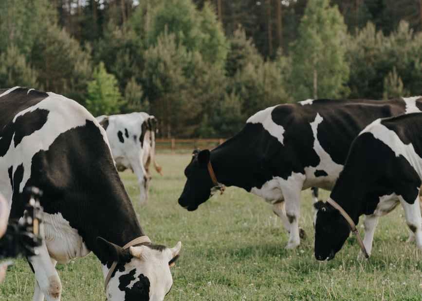 البقرة في الحلم تفسير الرؤيا