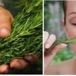El olor de esta planta no solo aumenta la memoria en un 75%, sino que también posee propiedades que han asombrado al mundo entero