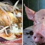 Mira lo que sucede en el interior de tu cuerpo cuando comes carne de cerdo, y aprende por qué debes evitarla