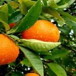 La naranja mucho más que vitamina C para nuestro organismo.