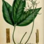 Angostura: propiedades y efectos secundarios