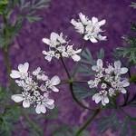Usos medicinales y aplicaciones curativas del cilantro