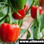 ¿Cómo cultivar pimiento en macetas? Te lo enseñamos de manera práctica y económica!