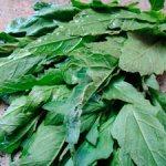 El epazote, planta medicinal: beneficios y propiedades curativas