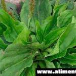 Esta simple hierba es considerada como uno de los medicamentos más útiles en la tierra; ahorraras mucho viajes a la farmacia. CONOCE SUS BENEFICIOS