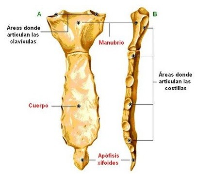 apofisis xifoides