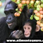 Los primates que comen fruta tienen cerebros más grandes