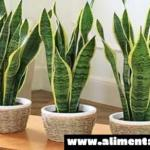Estas 4 plantas para su dormitorio van a curar el insomnio y la apnea del sueño