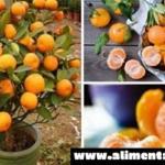 Deje de comprar mandarinas, plántalas en una maceta y siempre tendrás cientos de mandarinas orgánicas!