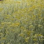 Planta Helicriso y sus propiedades