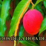 Té de Hojas de Mango para Tratar la Diabetes