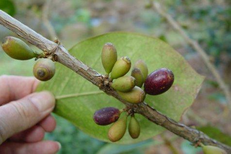 coffea mauritiana, gp Portogallo Alonso