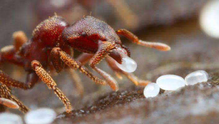 Karınca Yumurtası Yağı Nedir,Ne İşe Yarar,Kullanıcı Yorumları