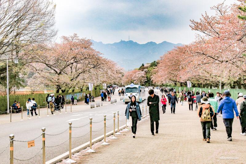 【首爾景點】首爾大公園-韓國櫻花景點.親子遊推薦首爾樂園+動物園 - Alina 愛琳娜 嗑美食瘋旅遊