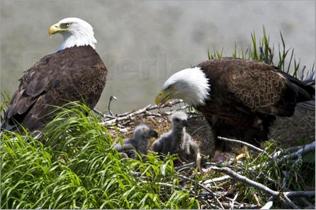 Cum isi alege femela vultur tatal puilor sai! O lectie interesanta din care avem multe de invatat