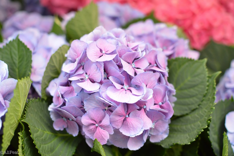 hydrangeas-columbia-road-market