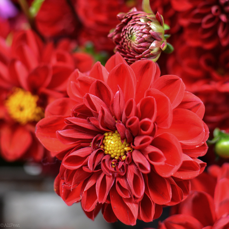 Red flowers-